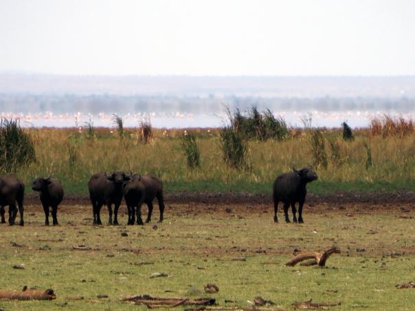 manyara-bawoly-flamingi